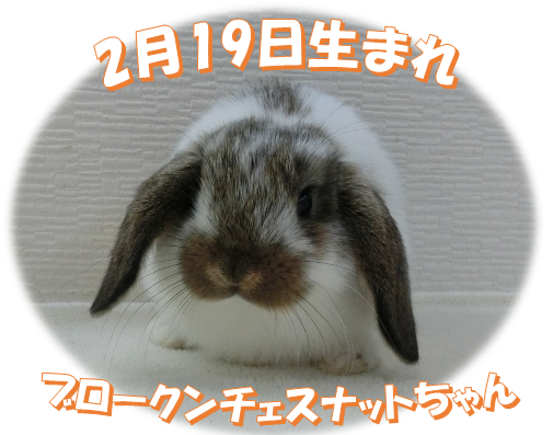 2月19日生まれHLブロークンチェスナットちゃん
