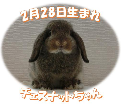 2月28日生まれHLチェスナットちゃん