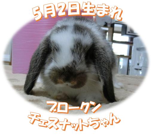 5月2日生まれBKNチェスナットちゃん