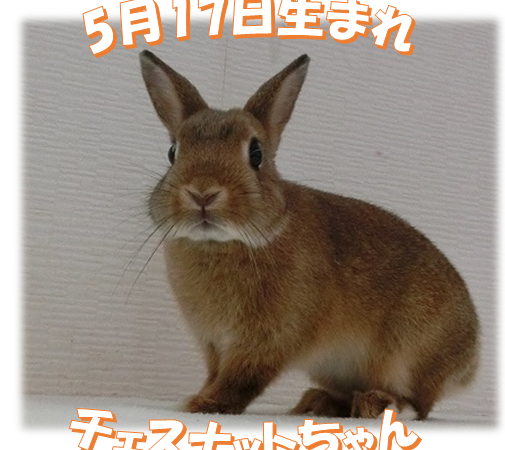 5月17日生まれチェスナットちゃん