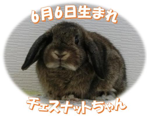 6月6日生まれHLチェスナットちゃん