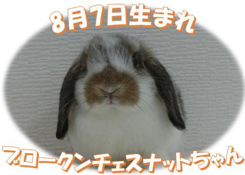 8月7日生まれBKNチェスナットちゃん