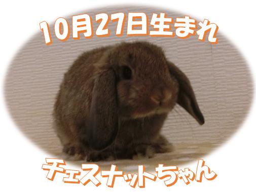 10月27日生まれHLチェスナットちゃん