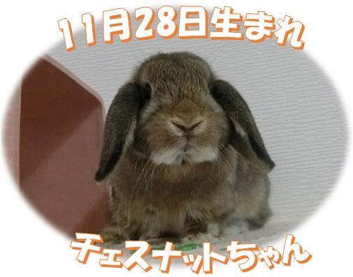 11月28日生まれHLチェスナットちゃん