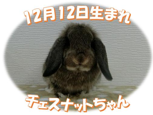 12月12日生まれHLチェスナットちゃん
