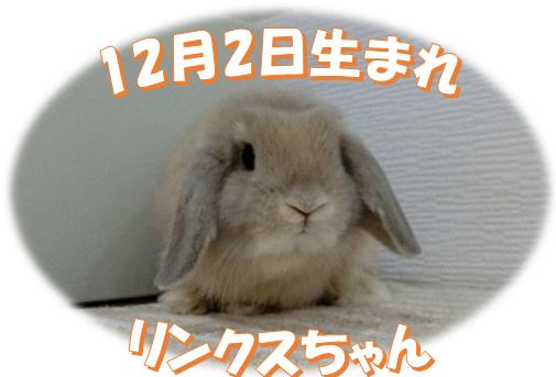 12月2日生まれHLリンクスちゃん