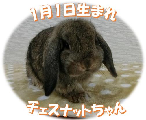 1月1日生まれHLチェスナットちゃん