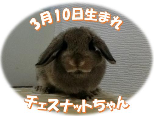 3月10日生まれHLチェスナットちゃん