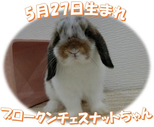 5月27日生まれBKNチェスナットちゃん