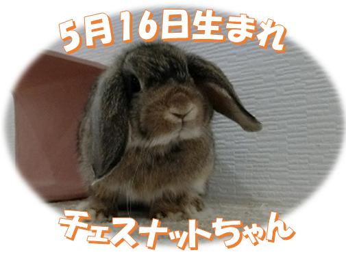 5月16日生まれHLチェスナットちゃん