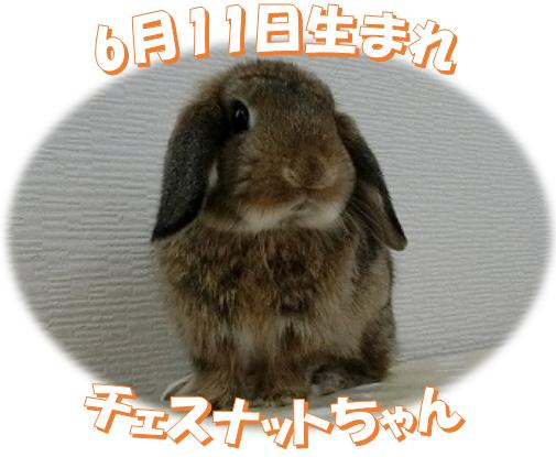 6月11日生まれHLチェスナットちゃん