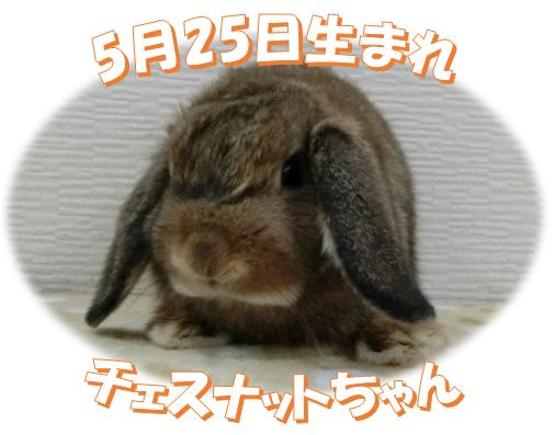 5月25日生まれHLチェスナットちゃん