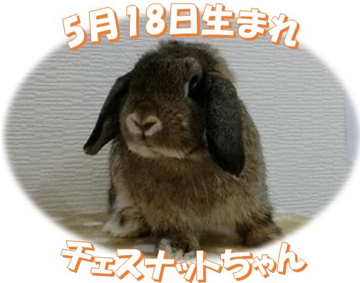 5月18日生まれチェスナットちゃん