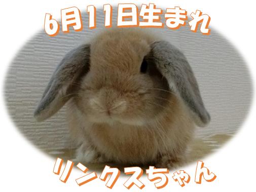 6月11日生まれHLリンクスちゃん