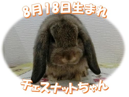 8月18日生まれHLチェスナットちゃん