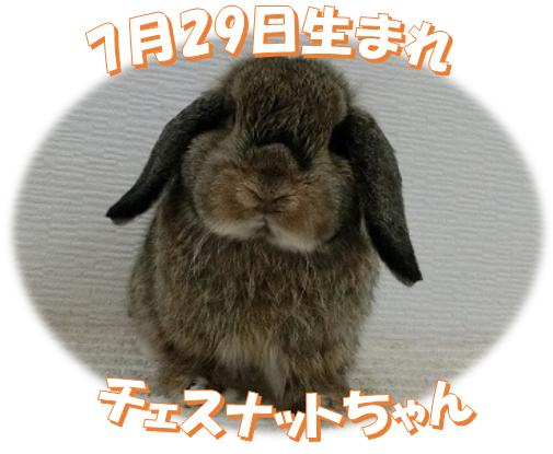 7月29日生まれHLチェスナットちゃん