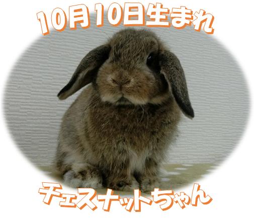 10月10日生まれHLチェスナットちゃん
