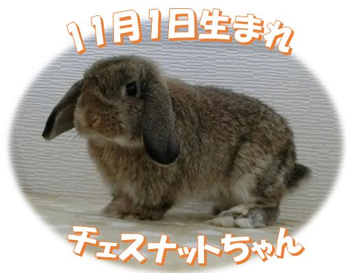 11月1日生まれHLチェスナットちゃん