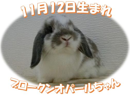 11月12日生まれHLBKNオパールちゃん