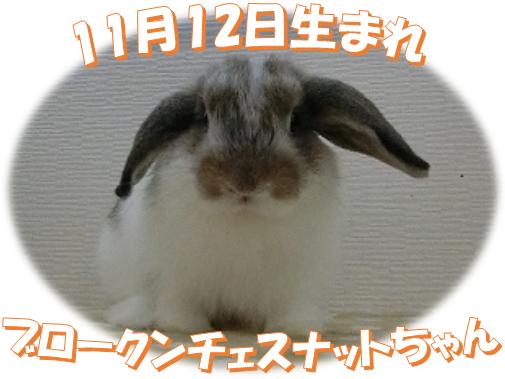 11月12日生まれBKNチェスナットちゃん