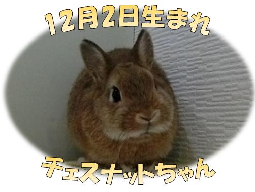 12月2日生まれチェスナットちゃんND