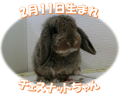 2月11日生まれHLチェスナットちゃん