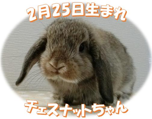 2月25日生まれHLチェスナットちゃん