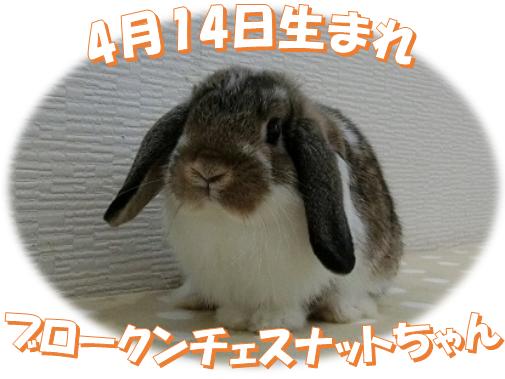 4月14日生まれHLブロークンチェスナットちゃん