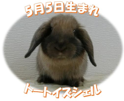 5月5日生まれトートイズシェルちゃん
