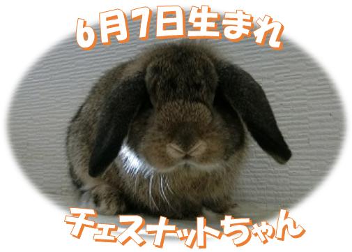 6月7日生まれHLチェスナットちゃん
