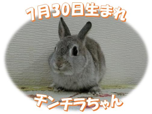 7月30日生まれNDチンチラちゃん