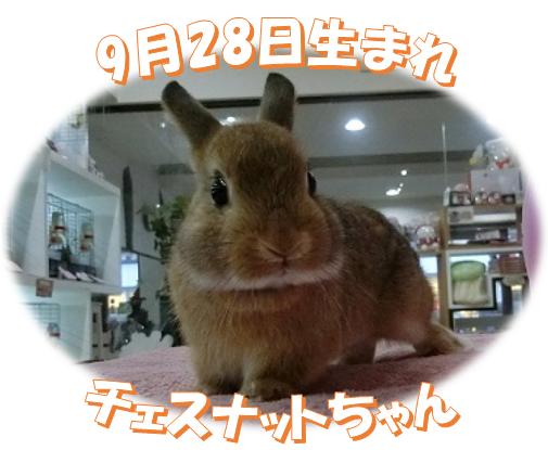 9月28日生まれNDチェスナットちゃん