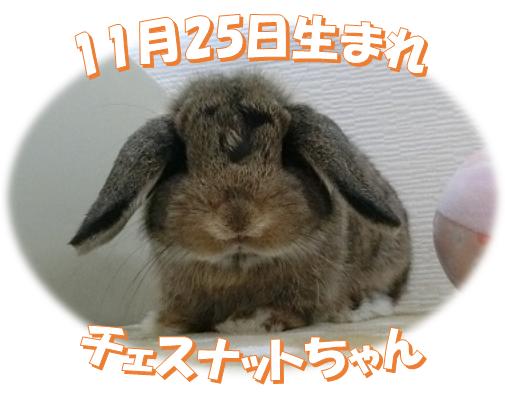 11月25日生まれHLチェスナットちゃん