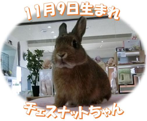 11月9日生まれNDチェスナットちゃん