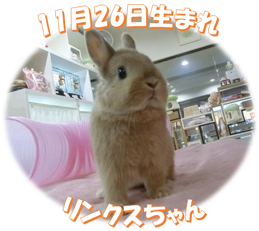 11月26日生まれリンクスちゃん